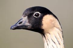 Nene or Hawaiian Goose, Branta sandvicensis. Nene and Hawaiian Goose, Branta sandvicensis, Single bird head shot Stock Photos