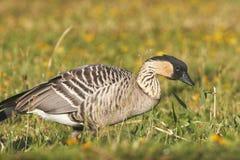 Nene (Hawaiian Goose) Eating Stock Images