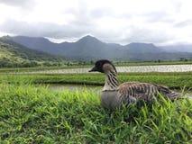 Free Nene, Hawaiian Goose In Taro Fields In Hanalei Valley On Kauai Island, Hawaii. Royalty Free Stock Image - 80290006