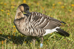 Nene (Hawaiian Goose) Looking Over Its Shoulder Stock Images