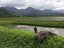 Nene Hawaiian Goose in Taro Fields in Hanalei Valley on Kauai Island, Hawaii. Nene, Branta Sandvicensis, Hawaiian Goose in Taro Fields in Hanalei Valley on Royalty Free Stock Photography