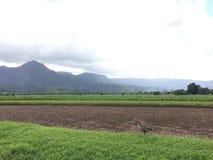 Nene, Hawaiian Goose in Taro Fields in Hanalei Valley on Kauai Island, Hawaii. Nene, Branta Sandvicensis, Hawaiian Goose in Taro Fields in Hanalei Valley on Stock Images