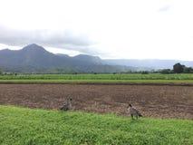 Nene, Hawaiian Goose in Taro Fields in Hanalei Valley on Kauai Island, Hawaii. Nene, Branta Sandvicensis, Hawaiian Goose in Taro Fields in Hanalei Valley on Stock Photos