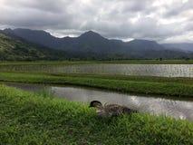 Nene, Hawaiian Goose in Taro Fields in Hanalei Valley on Kauai Island, Hawaii. Nene, Branta Sandvicensis, Hawaiian Goose in Taro Fields in Hanalei Valley on Royalty Free Stock Photos