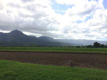 Nene, Hawaiian Goose in Taro Fields in Hanalei Valley on Kauai Island, Hawaii. Stock Image