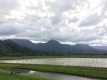 Nene, Hawaiian Goose in Taro Fields in Hanalei Valley on Kauai Island, Hawaii. Nene, Branta Sandvicensis, Hawaiian Goose in Taro Fields in Hanalei Valley on Royalty Free Stock Images