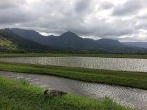 Nene, Hawaiian Goose in Taro Fields in Hanalei Valley on Kauai Island, Hawaii. Nene, Branta Sandvicensis, Hawaiian Goose in Taro Fields in Hanalei Valley on Royalty Free Stock Photo