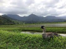 Nene, Hawaiian Goose in Taro Fields in Hanalei Valley on Kauai Island, Hawaii. Nene, Branta Sandvicensis, Hawaiian Goose in Taro Fields in Hanalei Valley on Royalty Free Stock Image