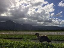 Nene, Hawaiian Goose in Taro Fields in Hanalei Valley on Kauai Island, Hawaii. Royalty Free Stock Image