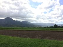 Nene, hawaiische Gans in Taro Fields in Hanalei-Tal auf Kauai-Insel, Hawaii Stockbild