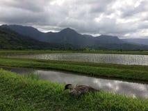 Nene, Hawajska gąska w taro polach w Hanalei dolinie na Kauai wyspie, Hawaje Zdjęcia Stock