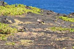 Nene a lo largo de la cadena del camino de los cráteres Fotos de archivo