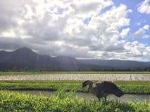 Nene, oie hawaïenne en Taro Fields en vallée de Hanalei sur l'île de Kauai, Hawaï Photographie stock