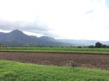 Nene, oie hawaïenne en Taro Fields en vallée de Hanalei sur l'île de Kauai, Hawaï Photos libres de droits
