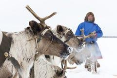 Nenets bergers de renne de jour à festival national «sur la péninsule de Yamal, Tarko-vente, le 28 mars 2015 Photos stock