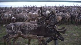 Nenets boy selects deer herd. The Yamal Peninsula. stock video