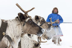 """Nenets en pastores en la península de Yamal, Tarko-venta del reno del día del festival nacional """", el 28 de marzo de 2015 fotos de archivo"""