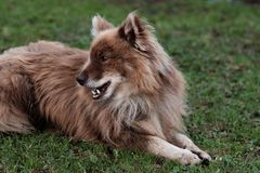 Nenets herding laika dog resting lying on the green grass. On farm after work royalty free stock image