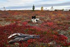 Nenets laik odpoczywa niedalekiego świeżego chwyta lipień, Biegunowy okrąg Rosja, Yamal półwysep zdjęcia stock