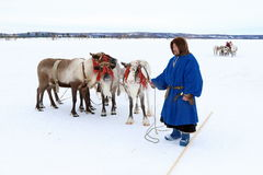 Nenets reindeer herder in traditional fur clothes and reindeer Royalty Free Stock Photo