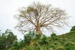 Nenhuma árvore da folha fotografia de stock