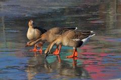 Nenhuma patinagem no gelo reservou fotografia de stock royalty free