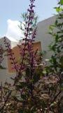 Nenhuma planta violeta do roxo das cuecas do filtro fotografia de stock royalty free
