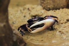 Nennen der Krabbe Lizenzfreie Stockbilder