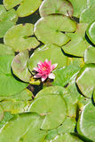 Nenufar. Flower in a garden Royalty Free Stock Photo