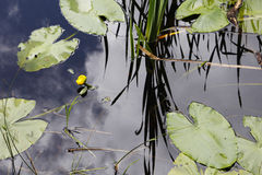 Nenufarbladeren en gele bloem Stock Fotografie