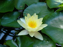 Nenuphar. A yellow nenuphar in the lake Stock Photography