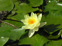 Nenuphar. A yellow nenuphar on a lake Stock Photo