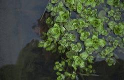 Nenuphar dans l'eau Image libre de droits