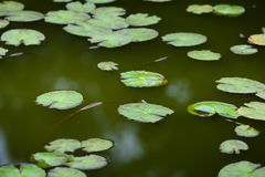 Nenuphar leaves on water Royalty Free Stock Images