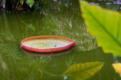 Nenuphar leaves on water Royalty Free Stock Photo