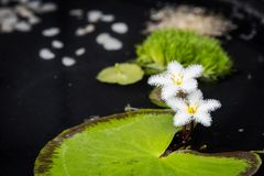 Nenuphar leaves and white flowers. In a pond royalty free stock image