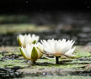 Nenuphar on the water. Beautiful white nenuphar with raindrops in the water stock photography