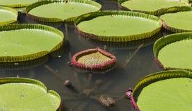 Nenuphars在Pamplemousses庭院里,毛里求斯海岛 库存照片