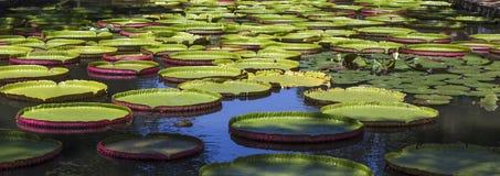 Nenuphars Βικτώρια Αμαζονία στους κήπους Pamplemousses, Στοκ Φωτογραφία