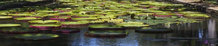 Nenuphars στους κήπους Pamplemousses, νησί του Μαυρίκιου Στοκ Εικόνα