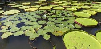 Nenuphars στους κήπους Pamplemousses, νησί του Μαυρίκιου Στοκ Φωτογραφίες