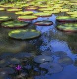 Nenuphars στους κήπους Pamplemousses, νησί του Μαυρίκιου Στοκ φωτογραφίες με δικαίωμα ελεύθερης χρήσης