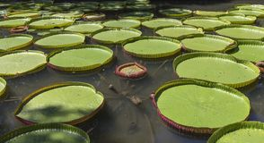 Nenuphars维多利亚阿马佐尼亚在Pamplemousses庭院里, 免版税图库摄影