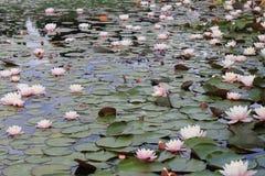 Nenuphars sur la surface d'un lac Photos stock