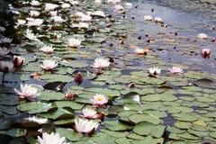 Nenuphars sur la surface d'un lac Photographie stock libre de droits