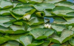 Nenupharsbloemen in Kalm Water stock fotografie