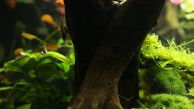 Neocaridina-heteropoda var Rot oder Kirschgarnele Fütterungshd, hohe Auflösung, Aquariumgarnelen stock video