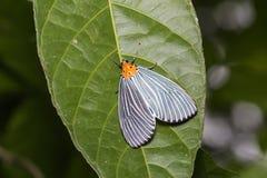 Neochera dominia moth Royalty Free Stock Photos