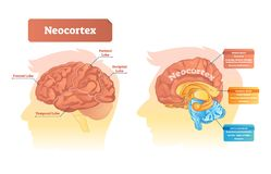 Neocortex vector illustration. Labeled diagram with location and functions. Frontal, parietal, occipital and temporal lobe scheme for human, mammal and vector illustration