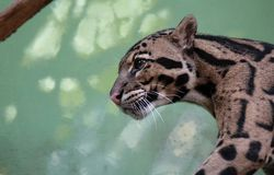 Neofelis nebulosa - fördunklad leopard - gå royaltyfri fotografi